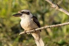 Kookabarra on the Lookout