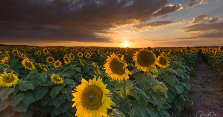Willowvale Sunflowers