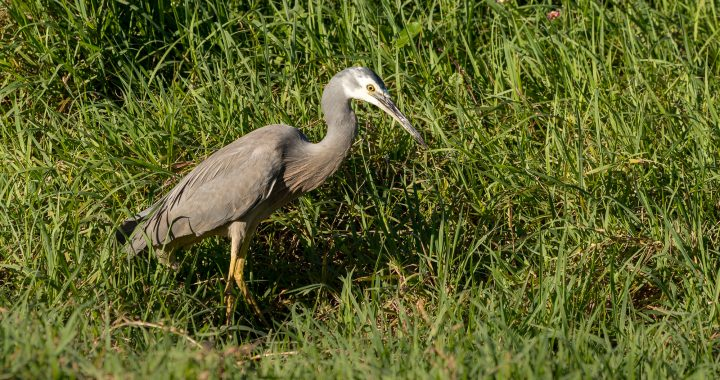 White - faced Heron